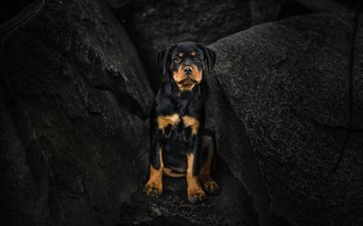 rottweiler, dogs, puppy, cliffs, cute animals