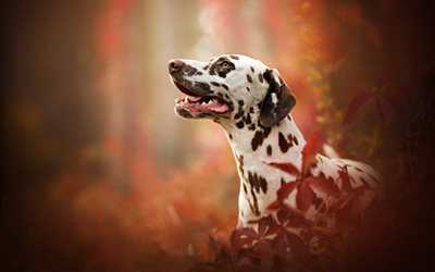 Dalmatian Dog, dogs, autumn, cute animals, Dalmatian, Canis lupus familiaris