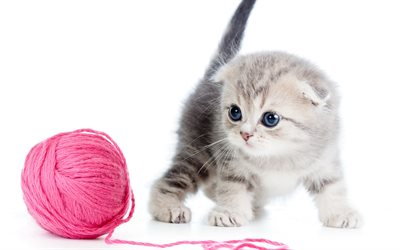 4k, Scottish Fold, cute animals, kitten, pets, cats, Felis catus