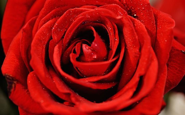 تحميل خلفيات وردة حمراء الندى قرب الأحمر برعم قطرات الماء