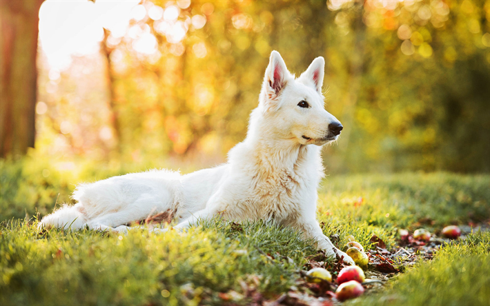 Download Wallpapers Swiss Shepherd Autumn Cute Animals Dogs