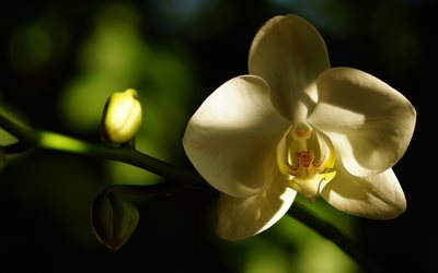 orchid, white orchids, tropical flowers