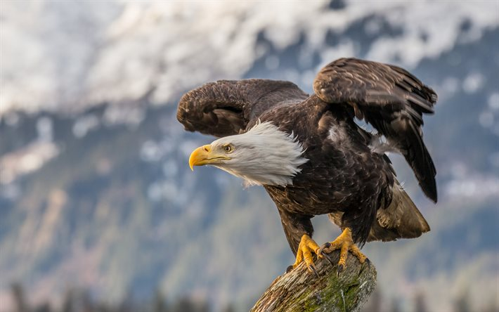 4k, bald eagle, wildlife, american symbols, hawk, bokeh, Haliaeetus leucocephalus, symbols of USA, eagle