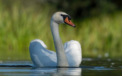 white swan, close-up, summer, lake, bokeh, swan on lake, cute birds, swans