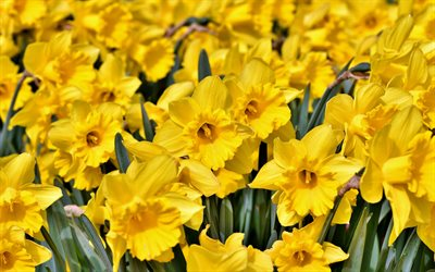 daffodils, yellow wildflowers, field with daffodils, spring flowers, background with daffodils