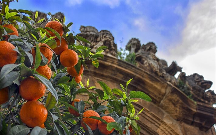 tangerines, fruits, citruses, tangerines on a tree, tangerine tree