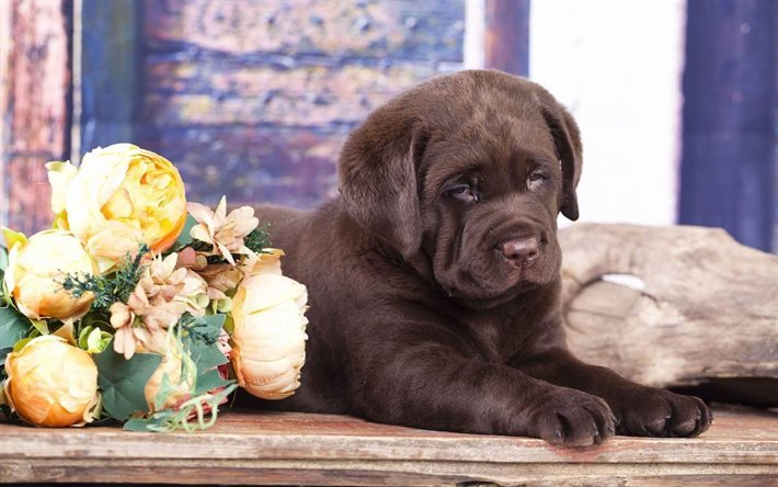 Chocolate labrador, puppy, dog, strong animals, labrador