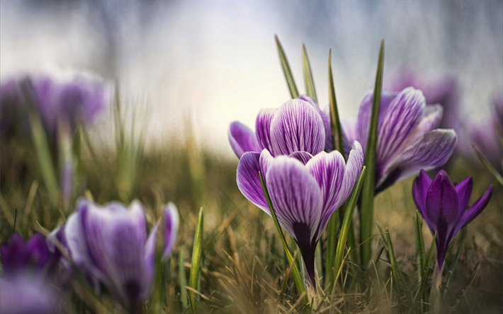 purple crocuses, bokeh, spring, purple flowers, crocuses, macro, spring flowers
