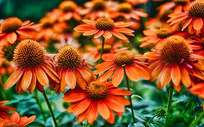 orange echinacea, makro, bokeh, orange blumen, hdr