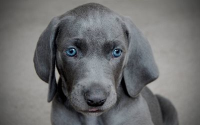 Blue Lacy, puppy, muzzle, gray dog, cute animals, pets, dogs, Blue Lacy Dog