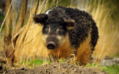 curly-headed boar, black pig, funny animals, forest inhabitants, curly piglet, wild boar