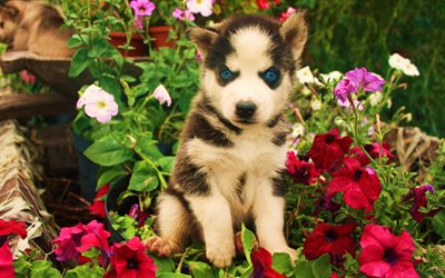 Husky, 4k, pets, puppy, Siberian Husky, blue eyes, cute animals, dogs, Husky Dog