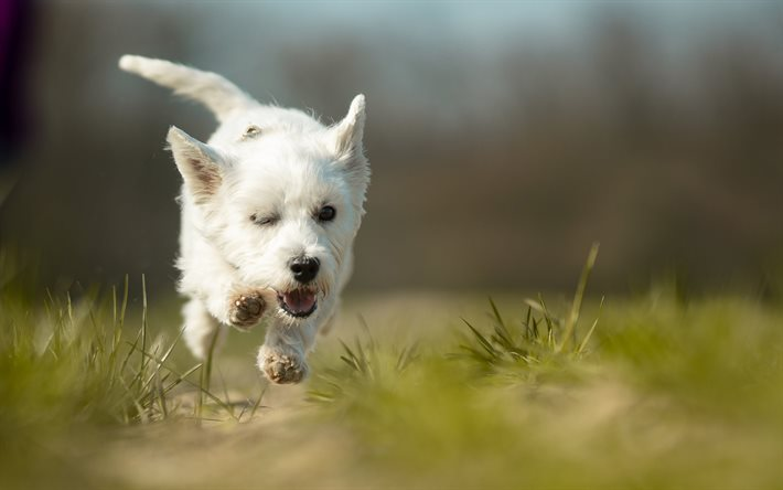 West Highland White Terrier, running dog, pets, cute animals, bokeh, dogs