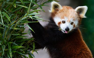 Red panda, cute brown bear, wildlife, wild animals, panda, China