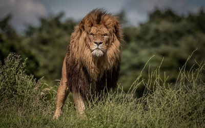 lion, wildlife, predator, lions, Africa, wild animals, dangerous animals