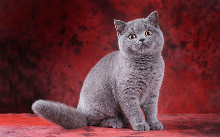 Download wallpapers British Shorthair cat, big gray cat, pet, cute animals, cats, British breeds of cats for desktop free. Pictures for desktop free