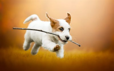 Jack Russell Terrier, flying puppy, funny dogs, cute animals, white puppy with brown ears, dogs