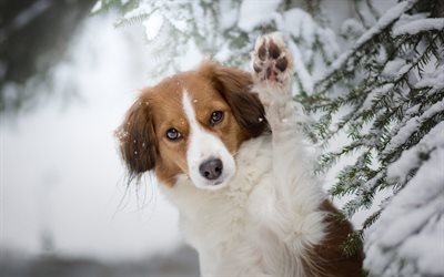 Australian Shepherd, brown white dog, winter, snow, forest, cute animals, dogs