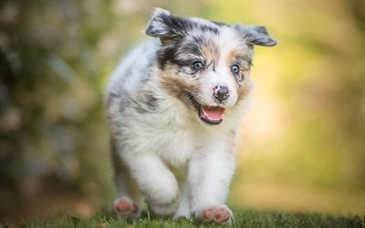 small aussie, running small puppy, cute animals, small dog, Australian dog, puppies, dogs