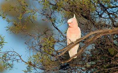 Galah, pink cockatoo, pink parrot, Australia, beautiful bird, pink birds