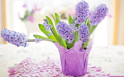 hyacinths, purple flowers in a pot, beautiful flowers, purple hyacinths