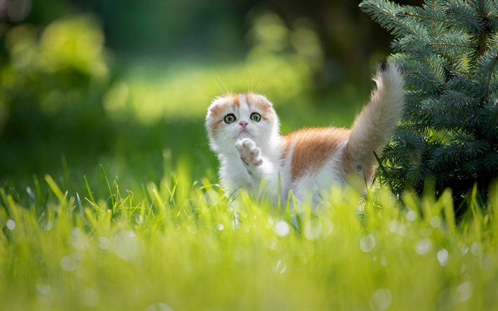 Small Scottish Fold, kitten, domestic cat, pets, ginger cat, Scottish Fold, cute animals, cats, lazy cat, Ginger Scottish Fold