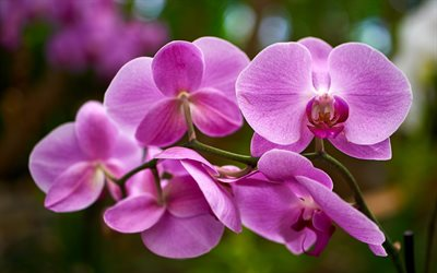beautiful orchids, pink orchid, tropical flowers, orchids, beautiful flowers