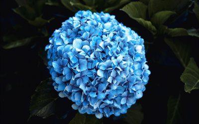 Hydrangea, hortensia, blue flower, beautiful flowers, background with blue flower, blue hydrangea