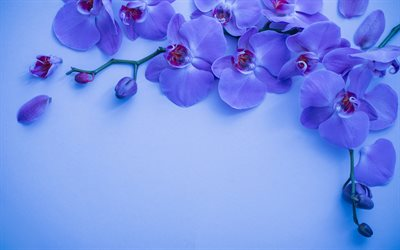 blue orchid, background with orchids, orchid branch, beautiful blue flowers, blue floral background, orchid