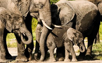 elephants, wildlife, wild animals, elephant family, little elephant, cute animals