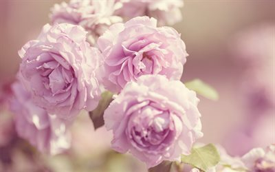 roses, pink flowers, pink roses, beautiful flowers