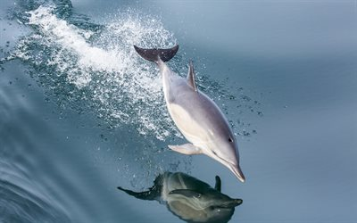 dolphin, sea, mammal, jump over the water, waves