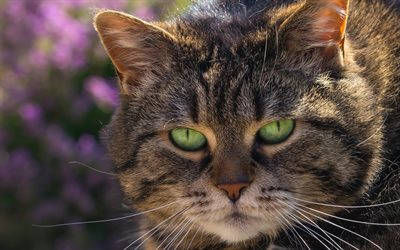American Bobtail, cats, pets, cat with green eyes, cute animals, American Bobtail Cat