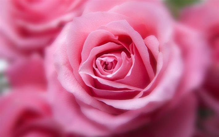 Scarica Sfondi Rosa Bocciolo Di Rosa 4k Fiori Per Desktop Libero