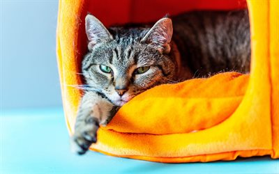 American Shorthair, cat house, pets, cute animals, cats, tired gray cat