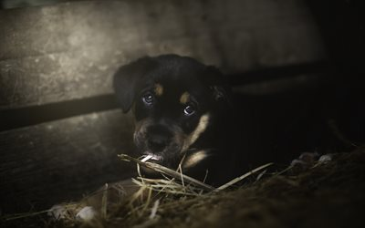 Rottweiler, close-up, pets, puppy, dogs, hay, cute animals, Rottweiler Dog