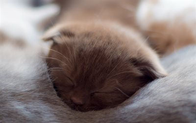 gray kitten, close-up, pets, sleeping kitten, cats, domestic cats, cute animals