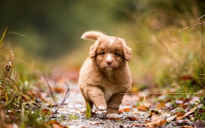 nova scotia duck tolling retriever, small brown curly puppy, cute animals, small dogs, pets, toller