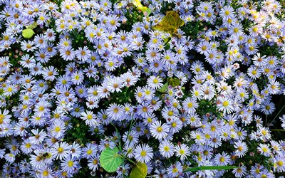 chamomile, aerial view, summer flowers, white flowers, Asteraceae