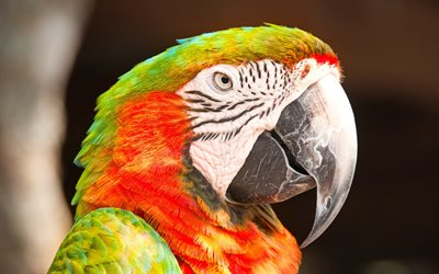 Red-fronted macaw, beautiful parrot, macaw, parrot, South America, Bolivia
