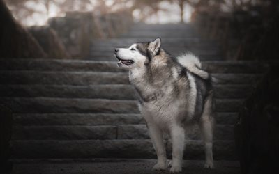 husky, dog, pets, cute animals, friendly dogs