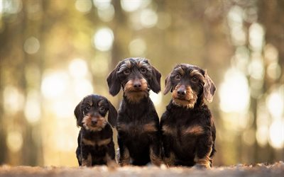 Wirehaired Dachshund Dog, pets, cute animals, dogs, Dachshund