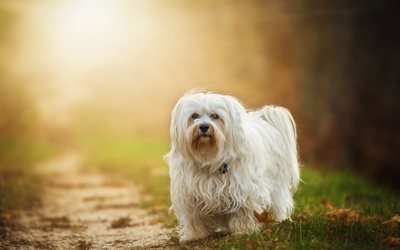 Havanese, pets, cute animals, dogs, Havanese Dog