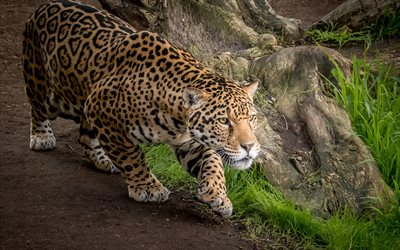 jaguar, wildlife, predators, Panthera onca
