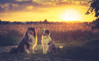 Australian Shepherds, dogs, pets, sunset, cute animals, Aussies