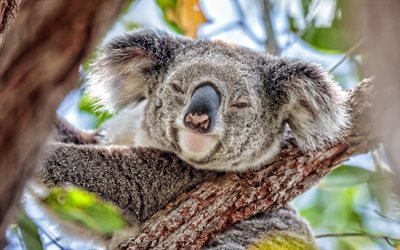 koala, bokeh, cute animals, Koala on tree, wildlife, funny animals, Koala, Phascolarctos cinereus