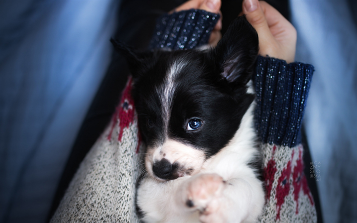 border collie, small dog in hand, cute puppy, pets, dogs, puppies, winter