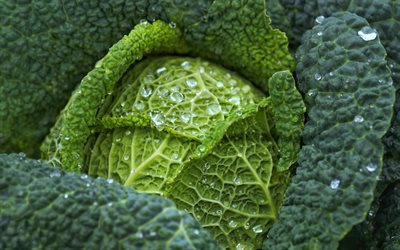 cabbage leaf texture, green leaf texture, cabbage, drops of water on cabbage