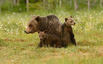 bears, family, bear cubs, green grass, wildlife