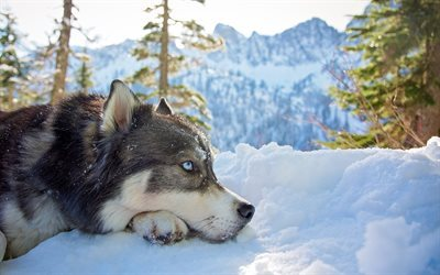 husky, winter, mountains, blue eyes, snow, dogs